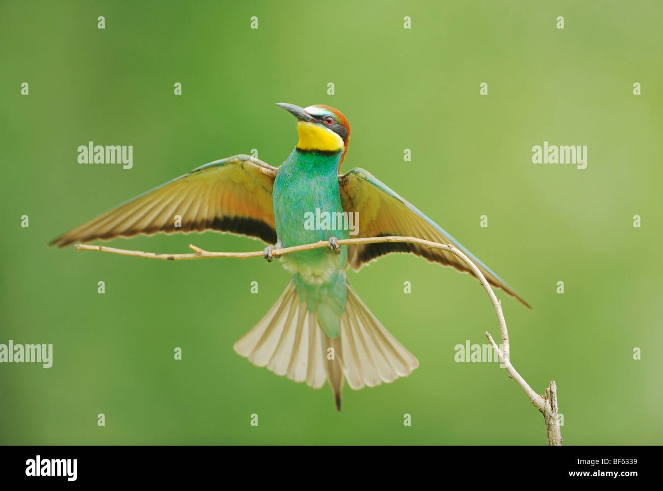 European Bee-eater (Merops apiaster), adult landing, Hungary, Europe Stock Photo