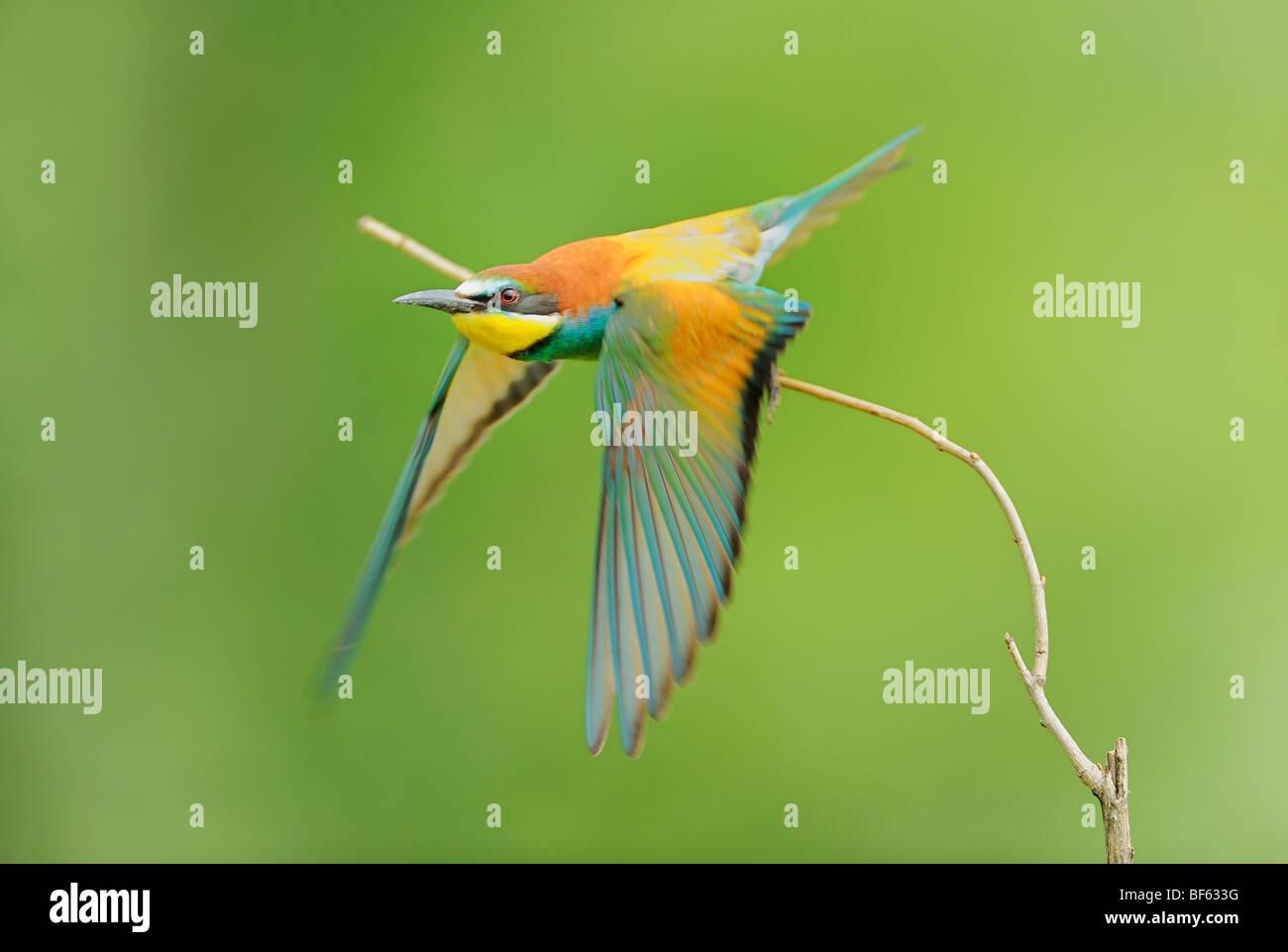 European Bee-eater (Merops apiaster), adult take off, Hungary, Europe Stock Photo