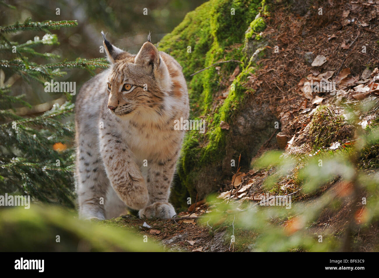 Eurasian Lynx (Lynx lynx), young sitting on rock, Switzerland, Europe - Stock Image