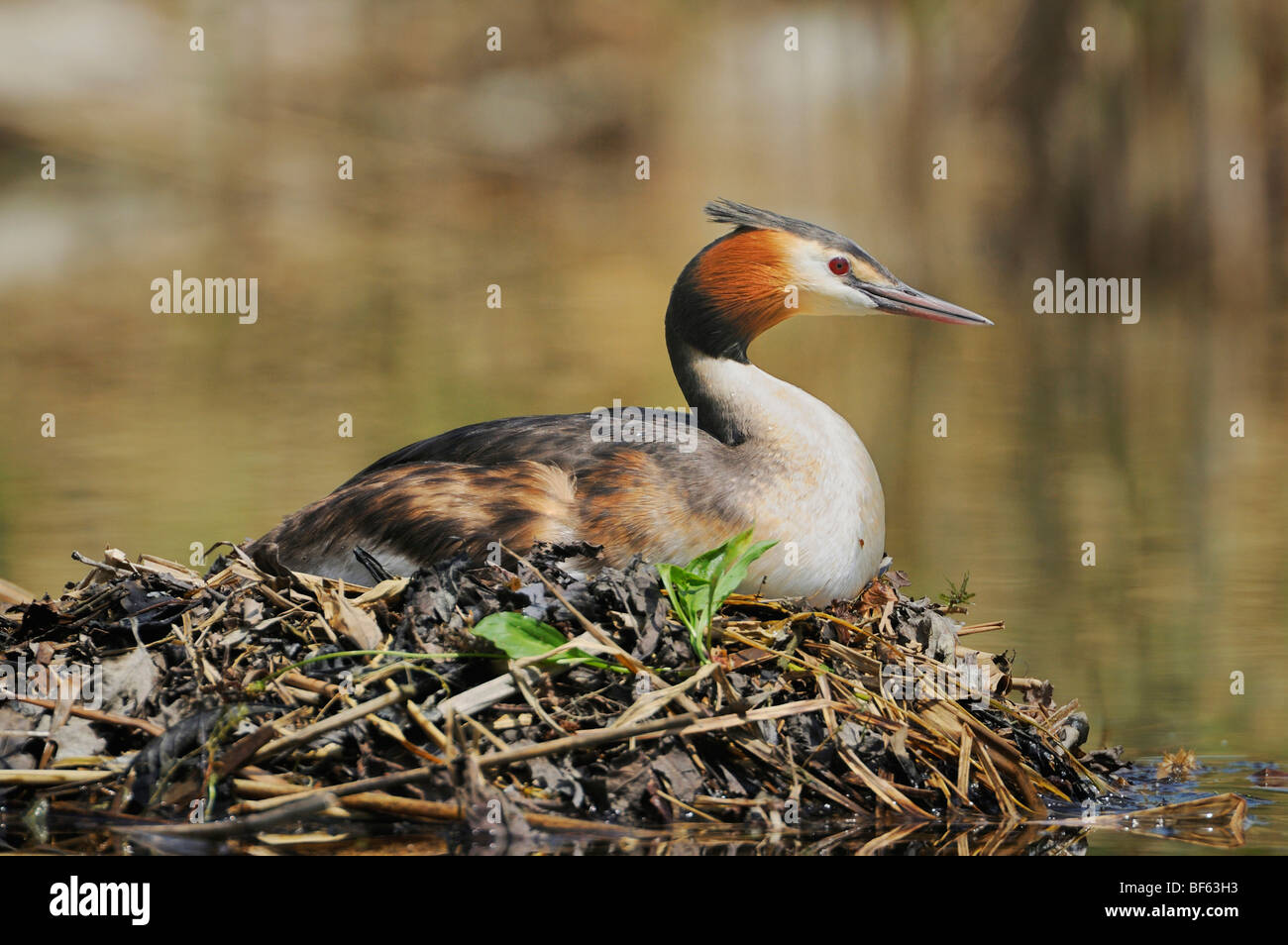 Great-crested Grebe (Podiceps cristatus), female on nest, Switzerland, Europe - Stock Image