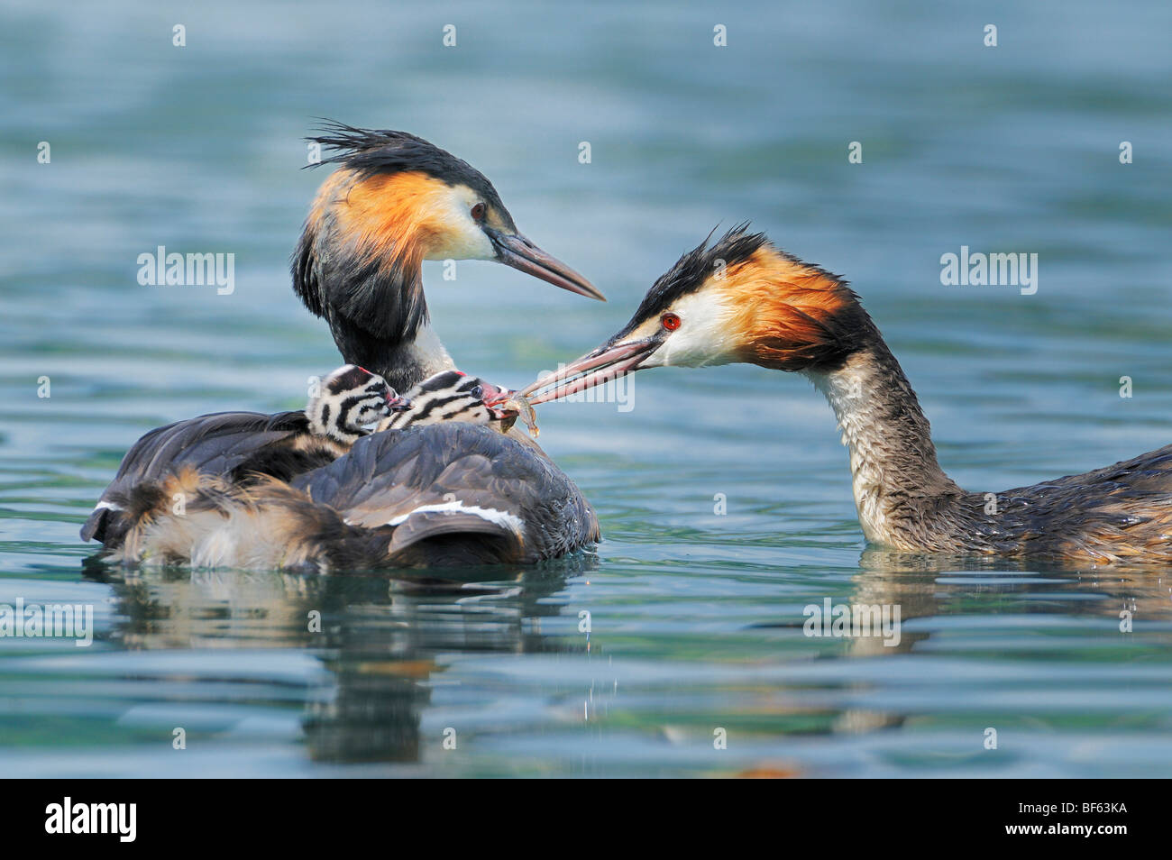 Great-crested Grebe (Podiceps cristatus), adult with young on back, Switzerland, Europe - Stock Image