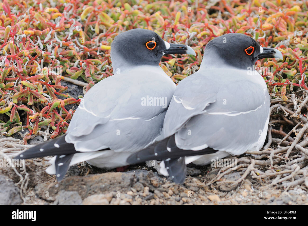 Swallow-tailed Gull (Creagrus furcatus), pair, Galapagos Islands, Ecuador, South America - Stock Image