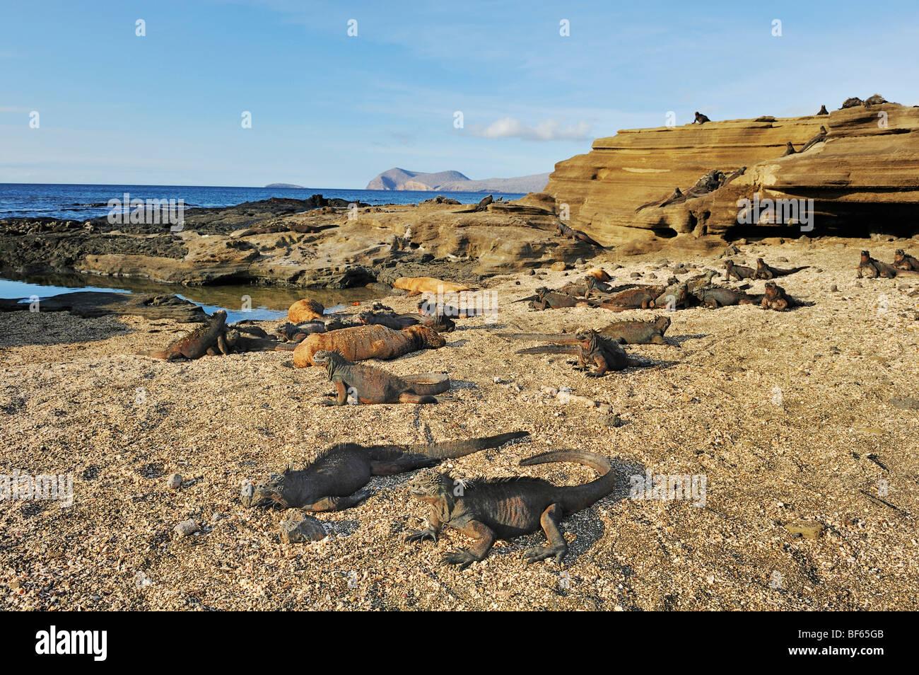 Marine Iguanas (Amblyrhynchus cristatus), group sunning, Puerto Egas Bay, Santiago Island, Galapagos, Ecuador, South Stock Photo