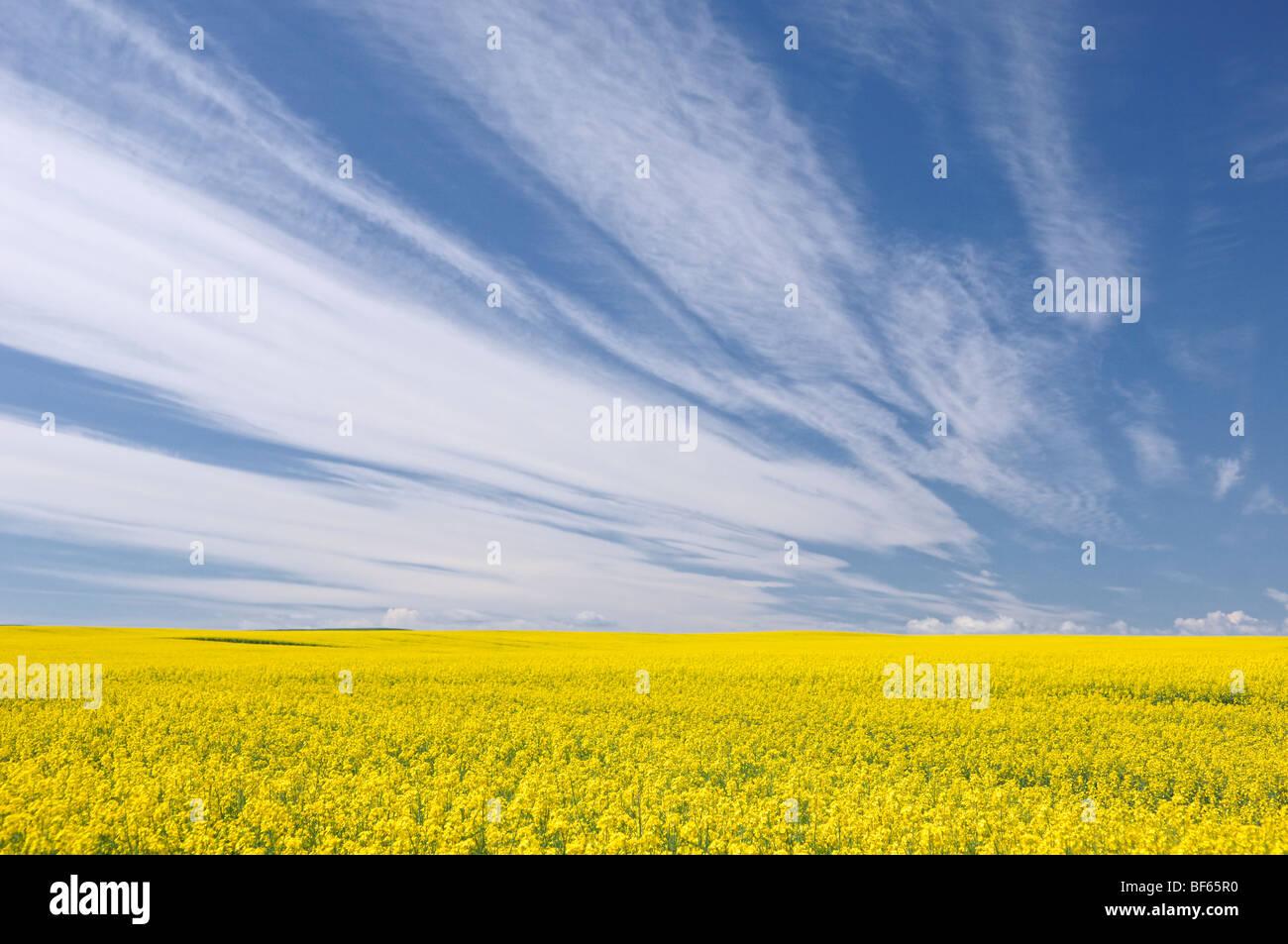 Canola field near Carstairs, Alberta, Canada Stock Photo