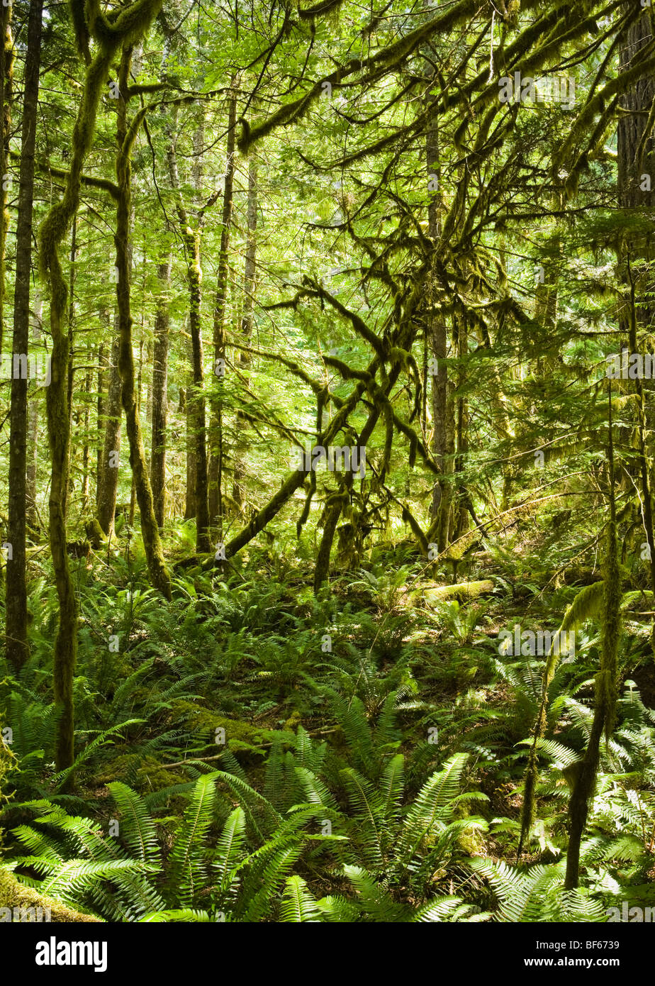 A fern and moss covered forest floor in a Pacific Northwest forest near Newhalem, Washington in the North Cascades, - Stock Image