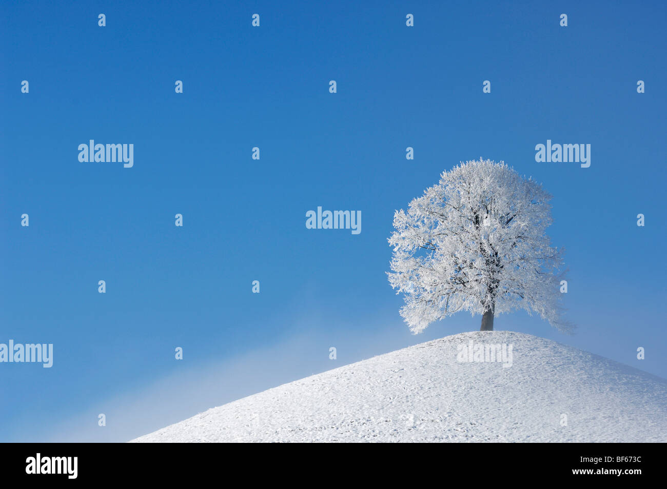 Linden tree (Tilia sp.),bare tree with frost in winter, Switzerland, Europe - Stock Image