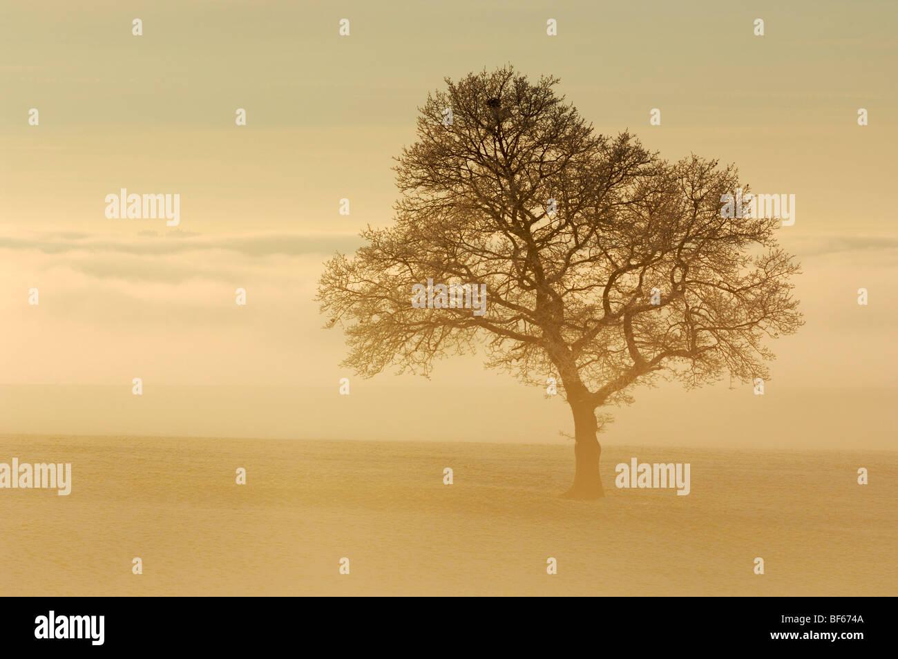 English Oak (Quercus robur) in fog, Switzerland, Europe - Stock Image