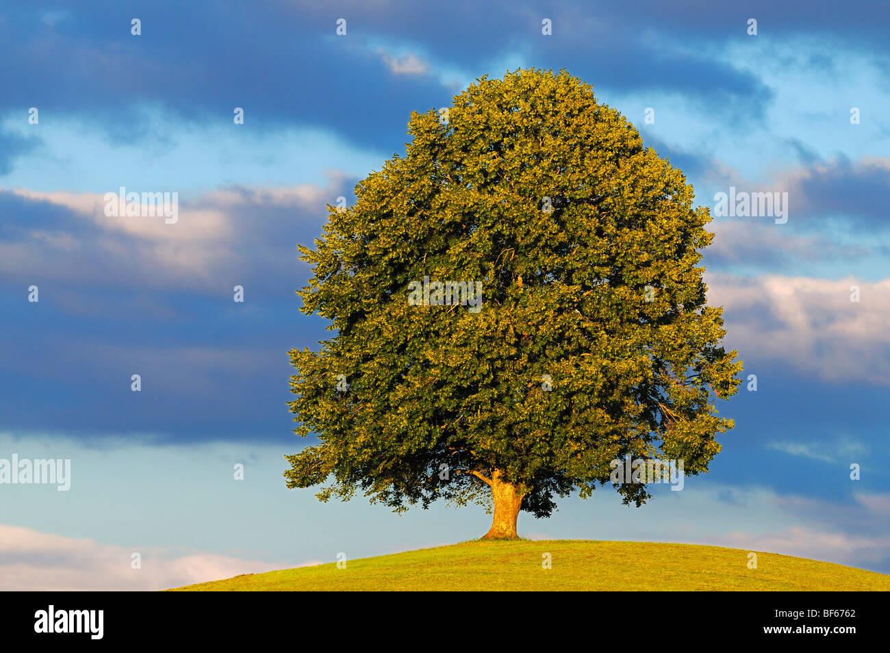 Linden tree (Tilia sp.), tree in summer, Switzerland, Europe - Stock Image