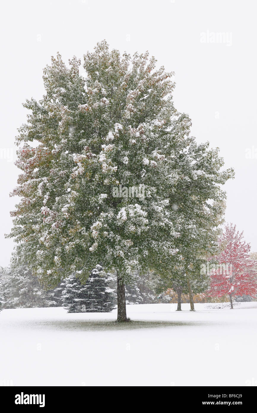 Lonely Tree during fall snow - Stock Image