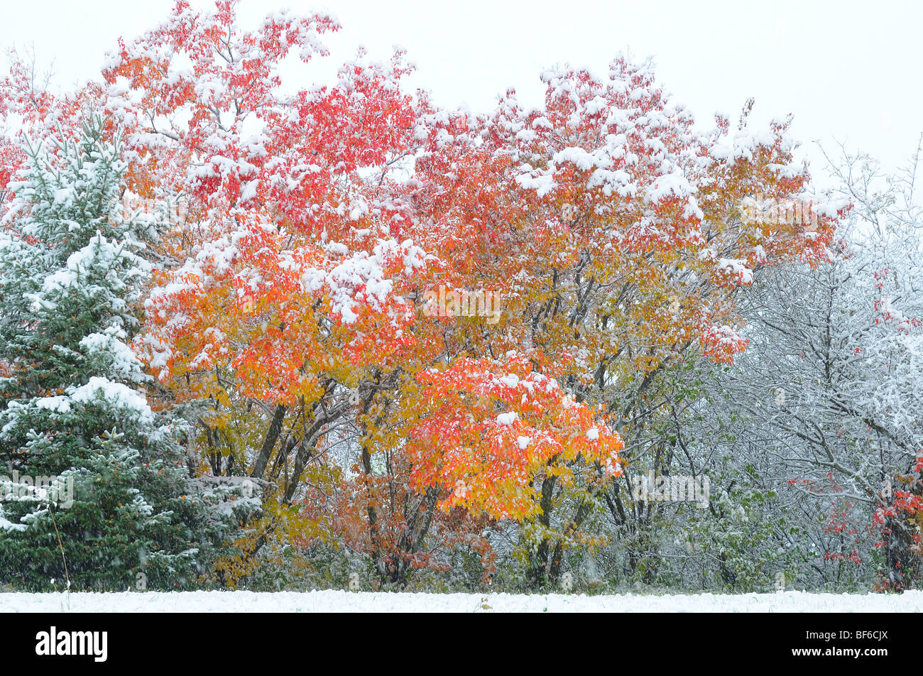 Early Snow in October, Fall Color - Stock Image