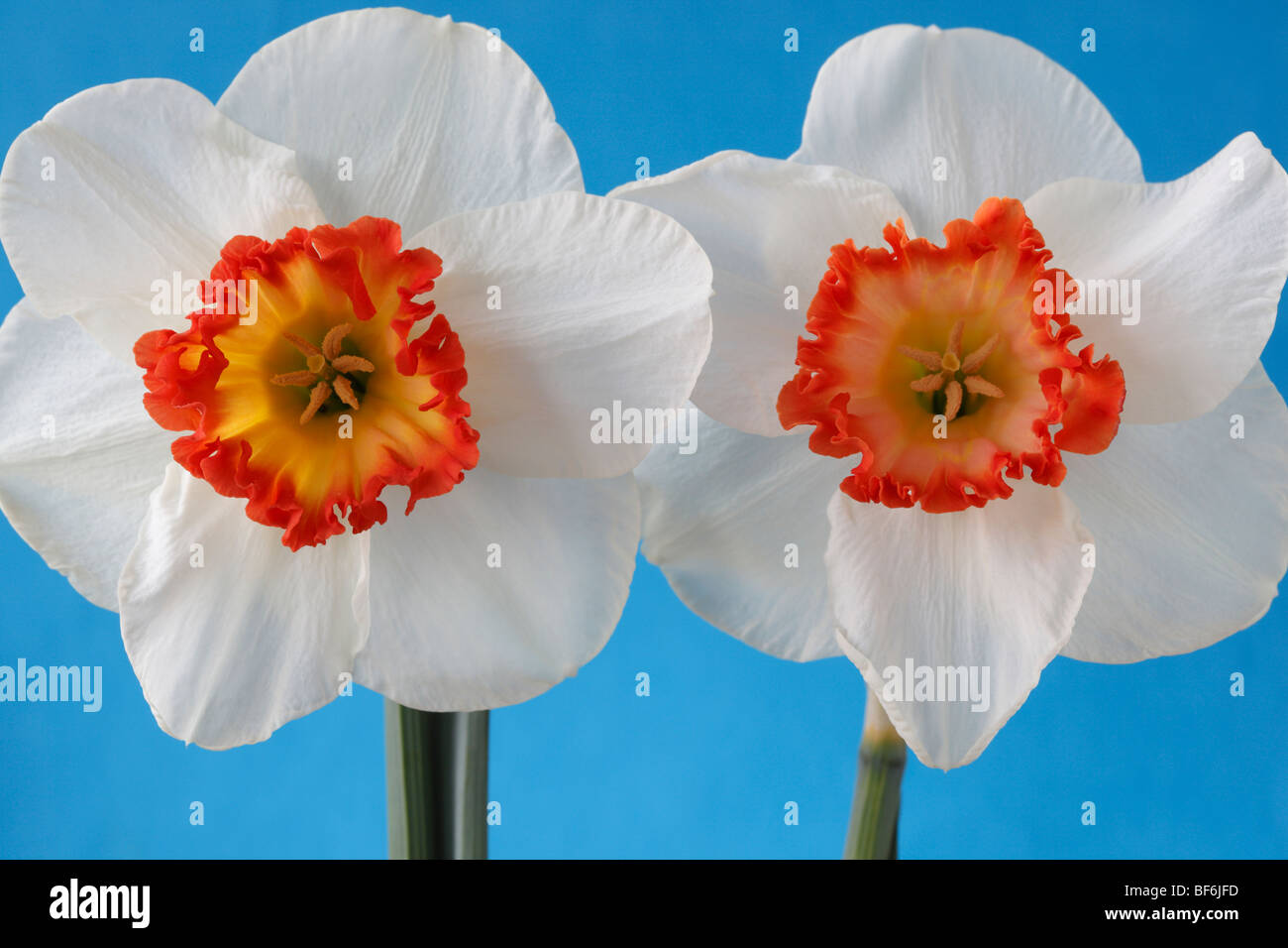 Narcissus 'Ring of Fire'	 (Daffodil) Div.2 Large-cupped - Stock Image