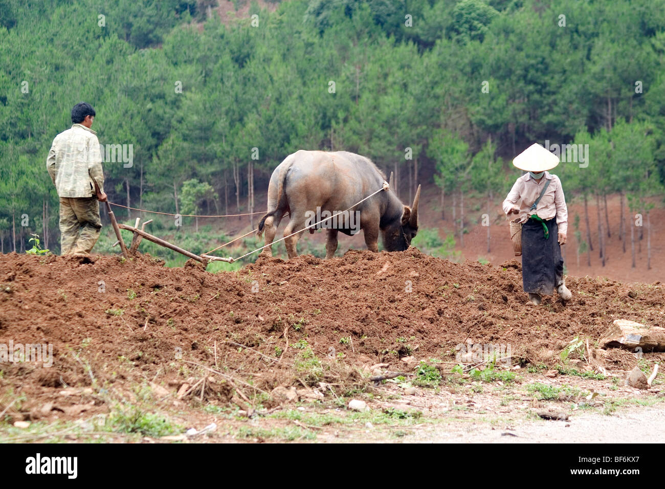 Vietnamese farmers and buffalo ploughing the hills of North Vietnam. - Stock Image