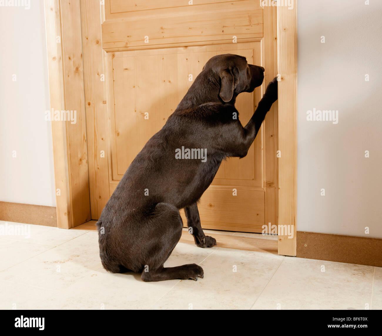 Beau Bad Habit : Labrador Retriever Scratching At Door   Stock Image