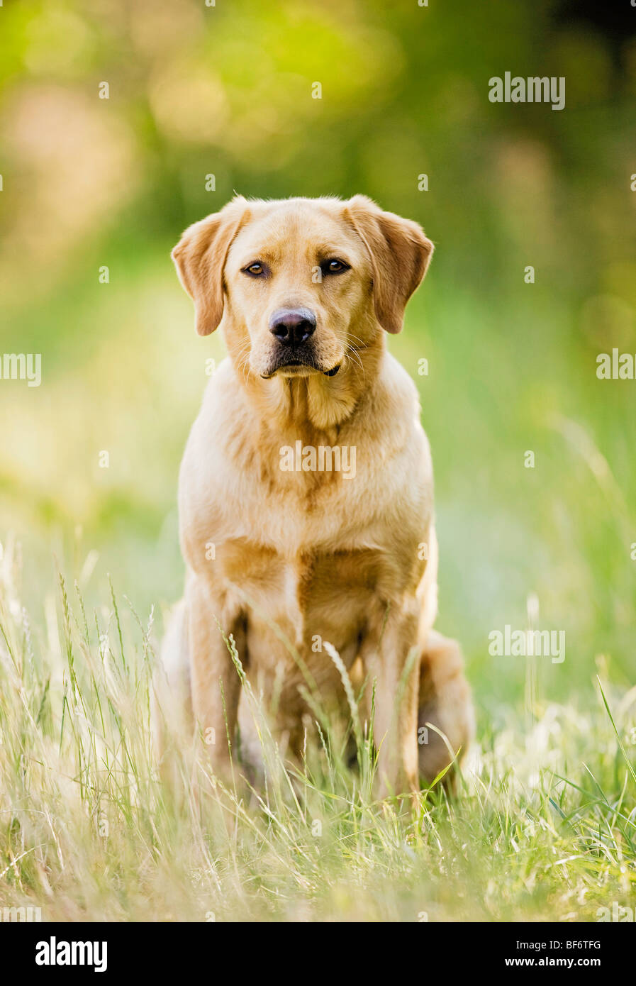 Labrador Retriever dog - sitting on meadow - Stock Image
