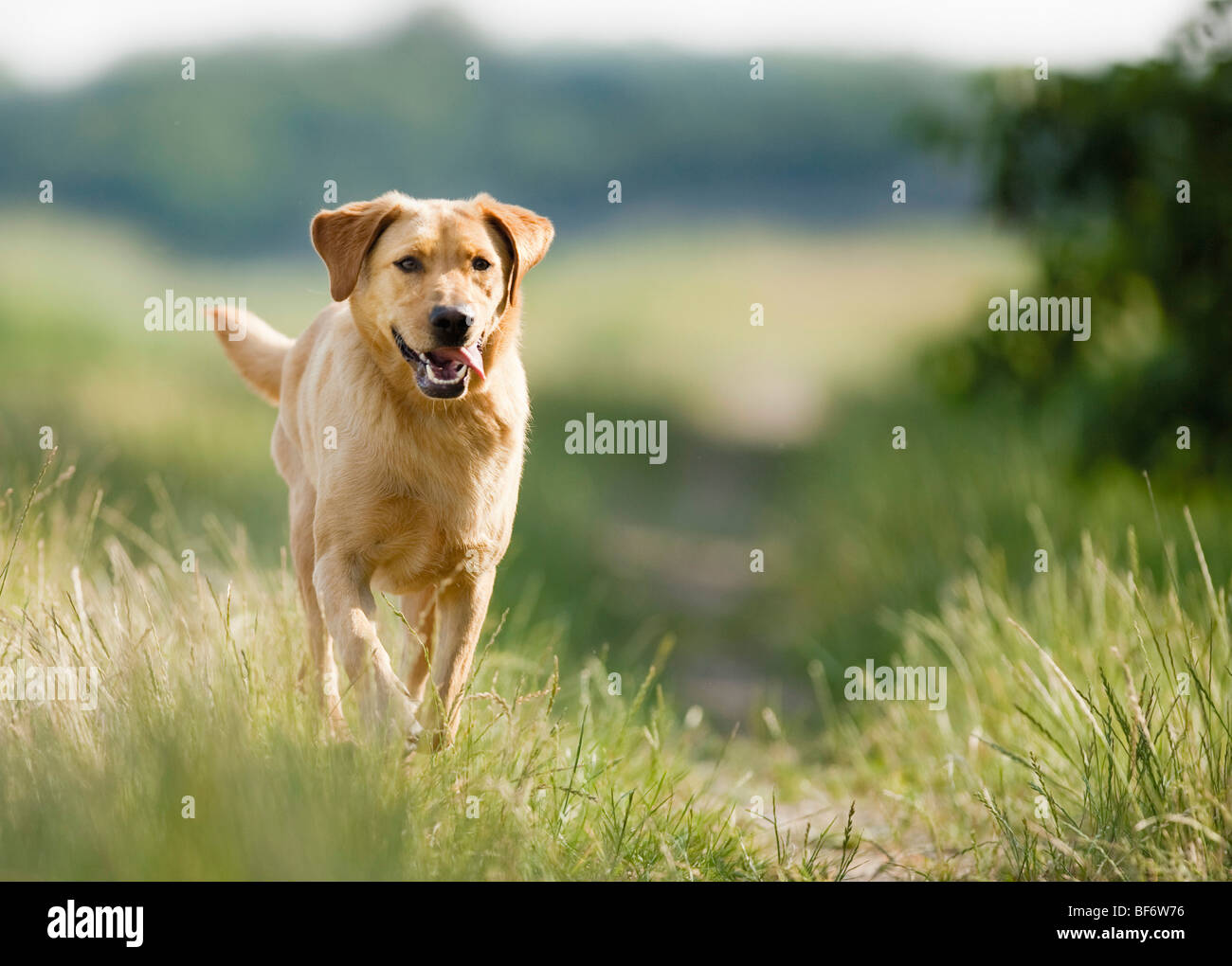 Labrador Retriever. Adult dog running in grass - Stock Image
