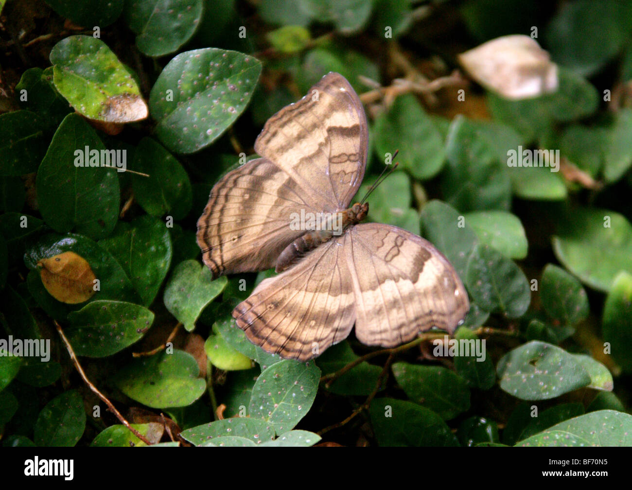 The Chocolate Pansy or Chocolate Soldier Butterfly, Junonia iphita, Nymphalidae, South Asia, Syn. Precis iphita. - Stock Image