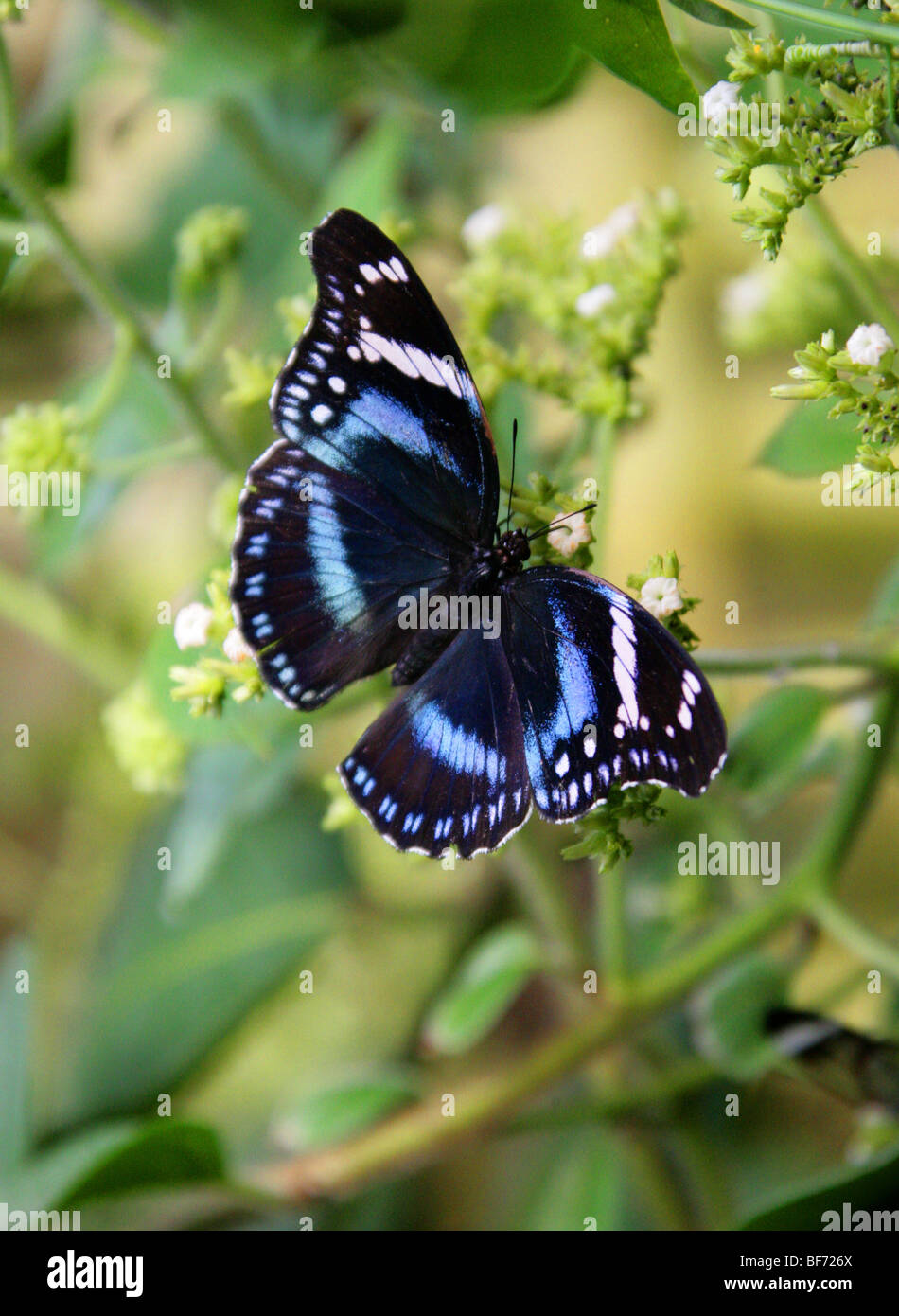 Amani Eggfly or Tanzanian Diadem Butterfly, Hypolimnas antevorta, Nymphalidae, Tanzania, Africa - Stock Image