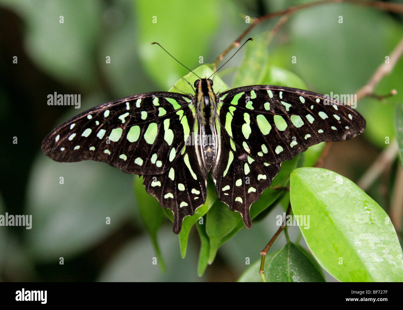 Tailed Jay or Green-spotted Triangle Butterfly, Graphium agamemnon, Papilionidae India, Malay Peninsula, East China, - Stock Image