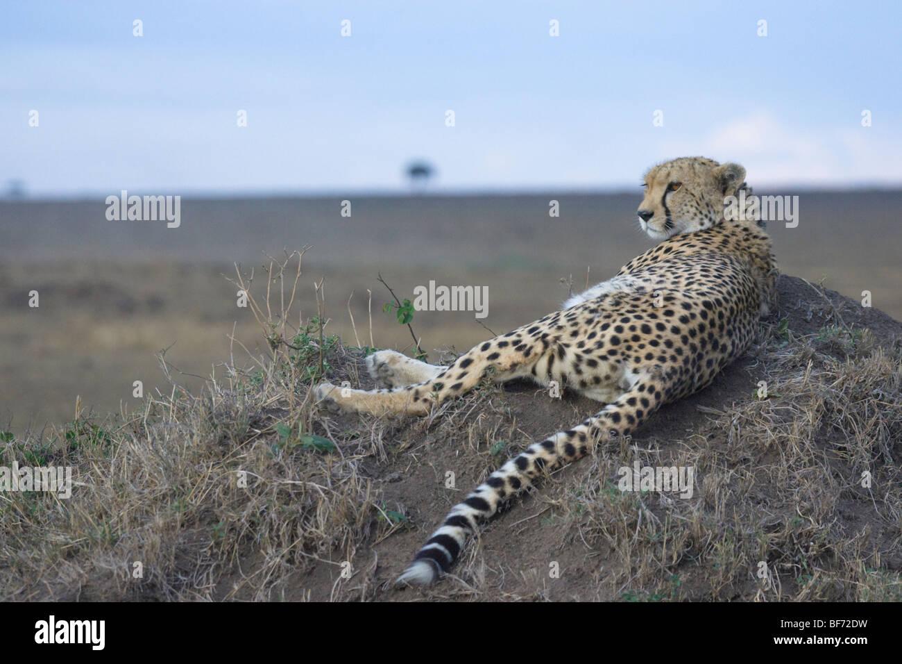 Female Cheetah, Acinonyx jubatus, laying on top of a termite mound. Masai Mara National Reserve, Kenya. - Stock Image