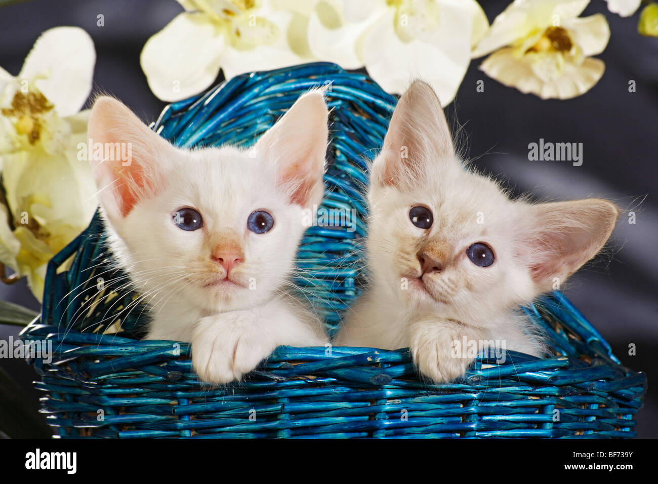 Balinese And Siamese Cat Kittens In Basket Stock Photo 26586503