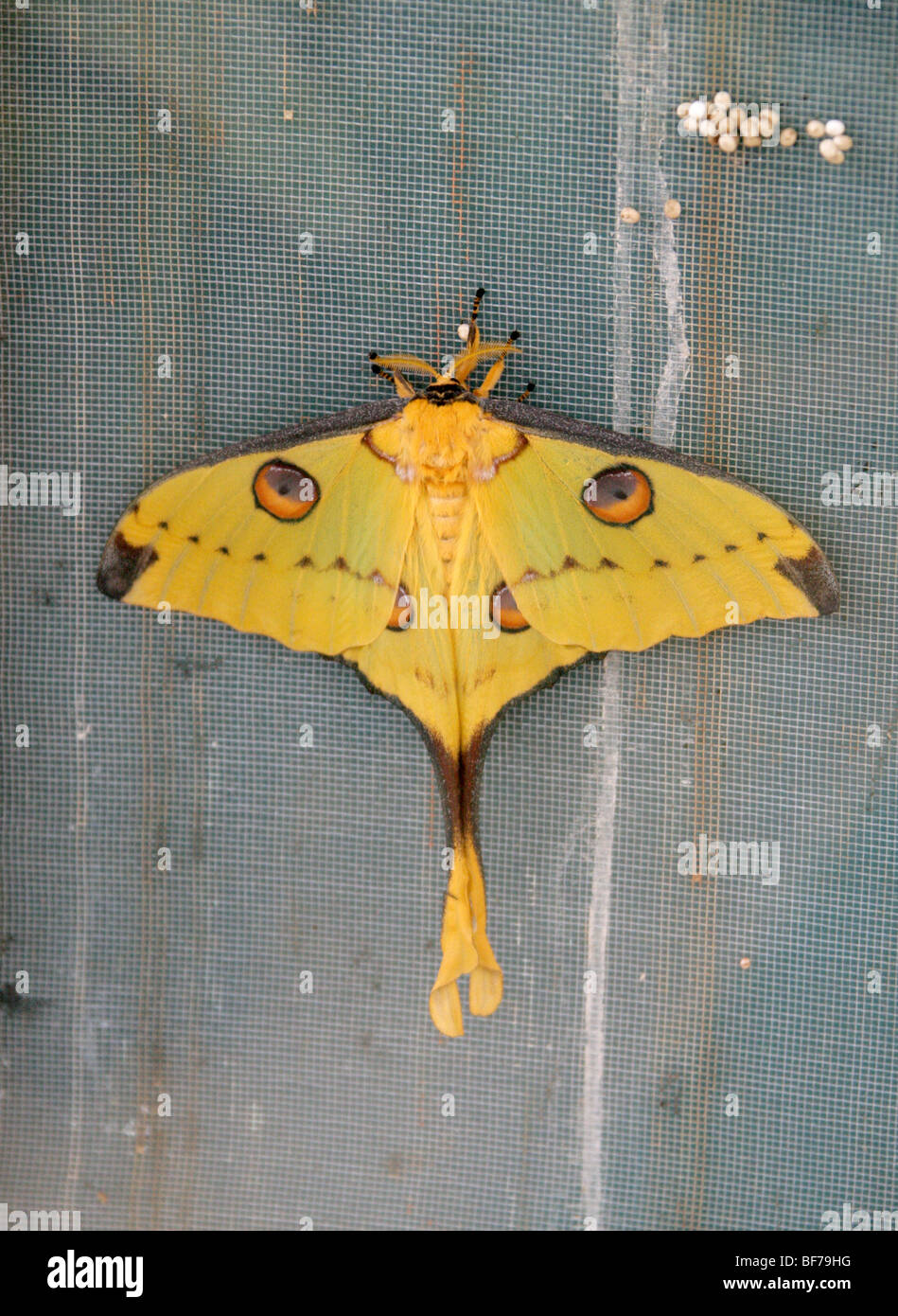 Female Madagascan Comet Moth, Argema mittrei, Saturniidae. Madagascar - Stock Image