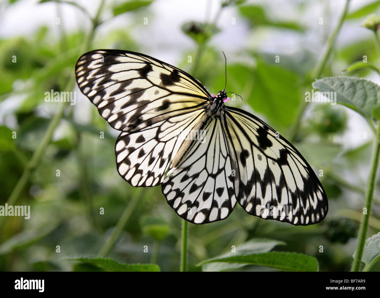 White Tree Nymph Idea leuconoe also Known as the Paper Kite or the Rice Paper Butterfly - Stock Image