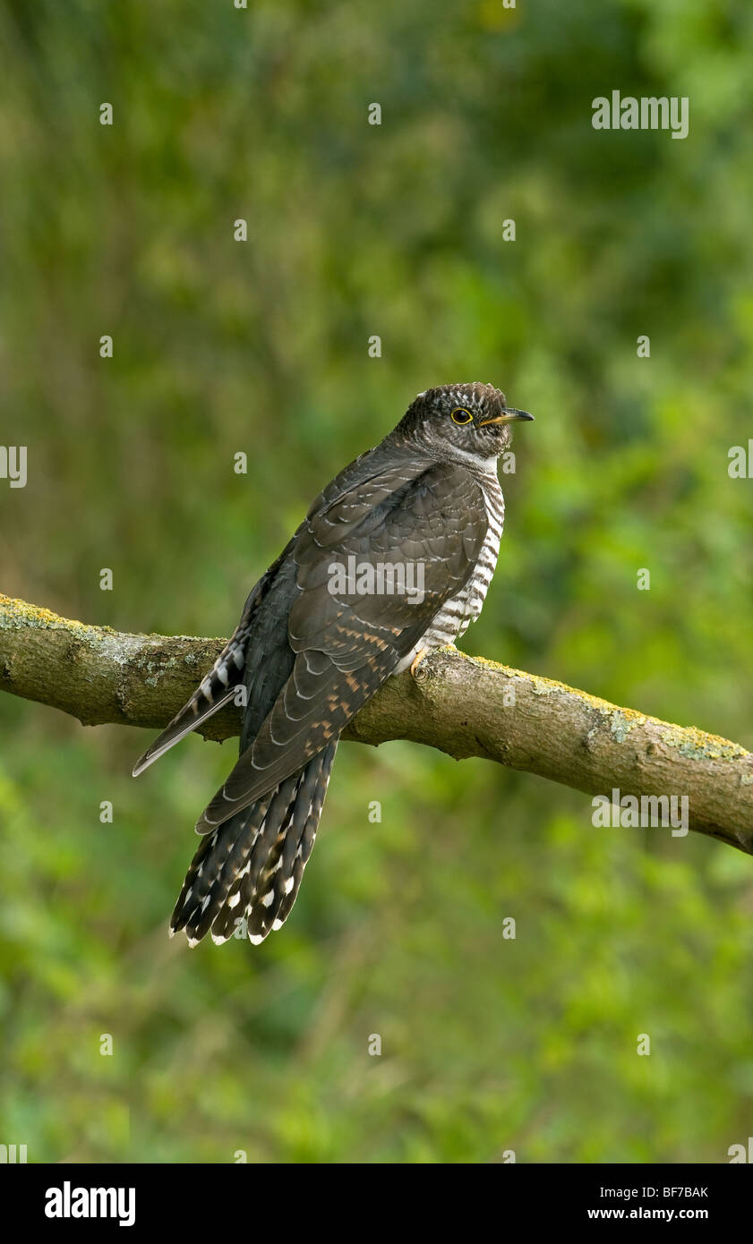 Eurasian Cuckoo juvenile perched on a branch - Stock Image