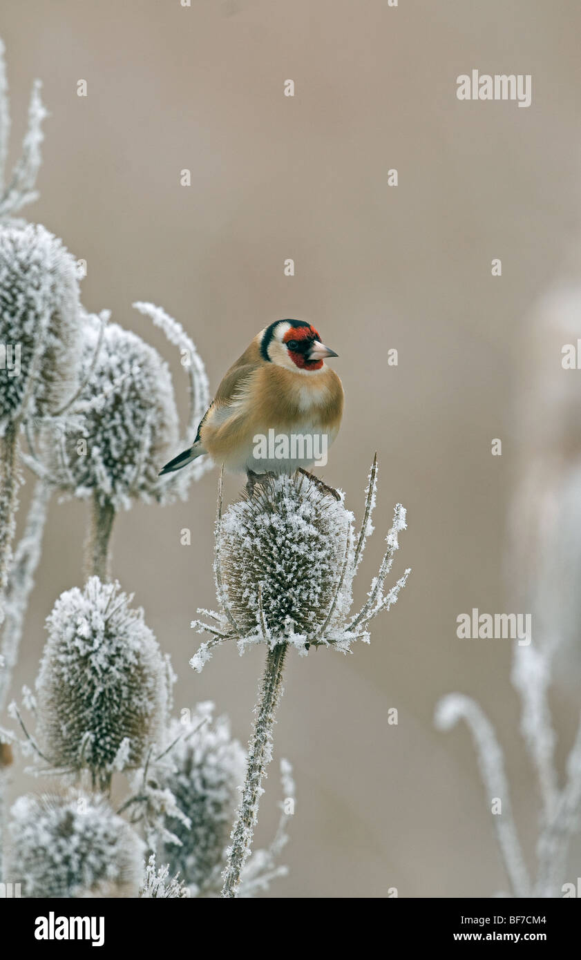 Goldfinch in a winter setting on a frozen, frosted teasel - Stock Image