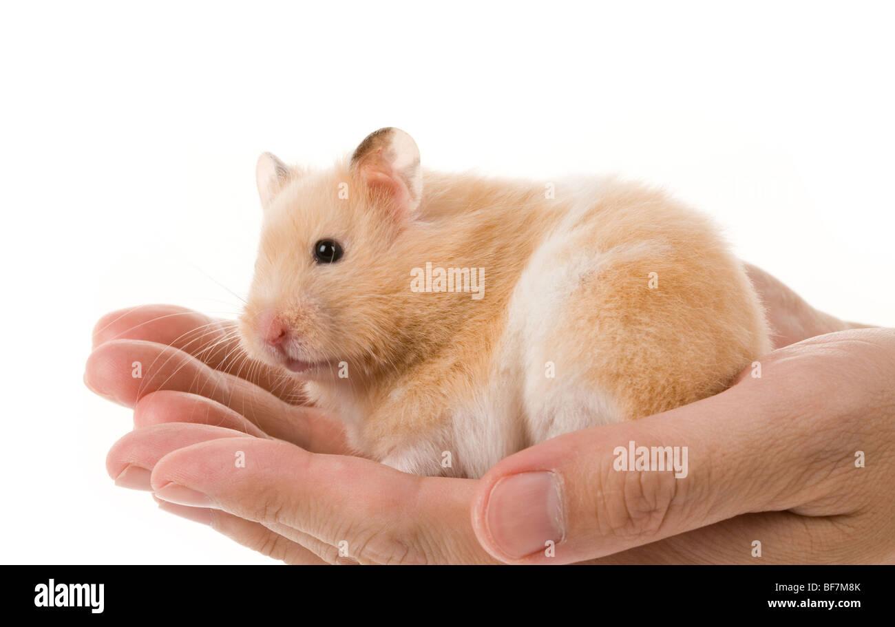 Teddy Bear Hamster White Background Stock Photos & Teddy