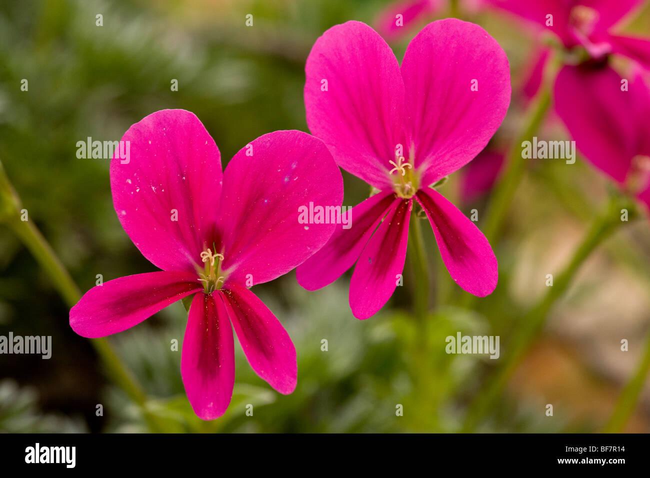 magenta geranium Pelargonium magenteum - Stock Image