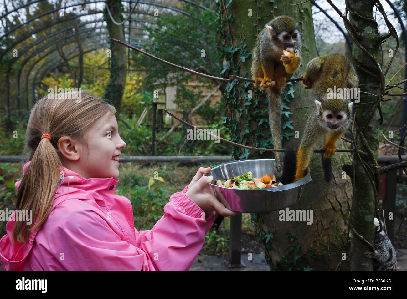 Girl feeding squirrel monkeys during her 'junior keeper for the day' experience at the Lakeland Wildlife - Stock Image