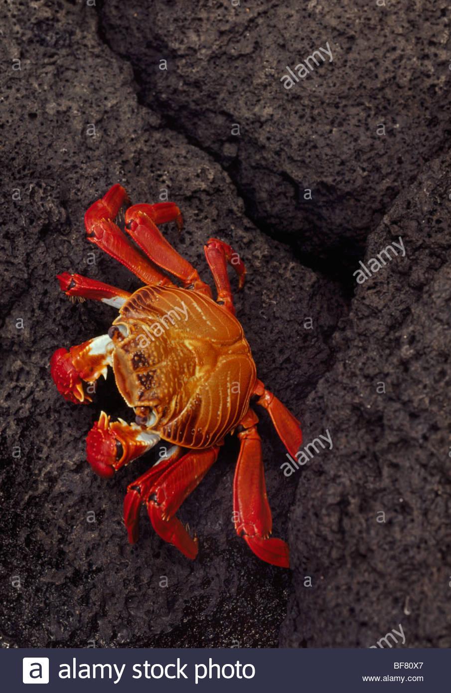 Sally lightfoot crab, Grapsus grapsus, Galapagos Islands - Stock Image
