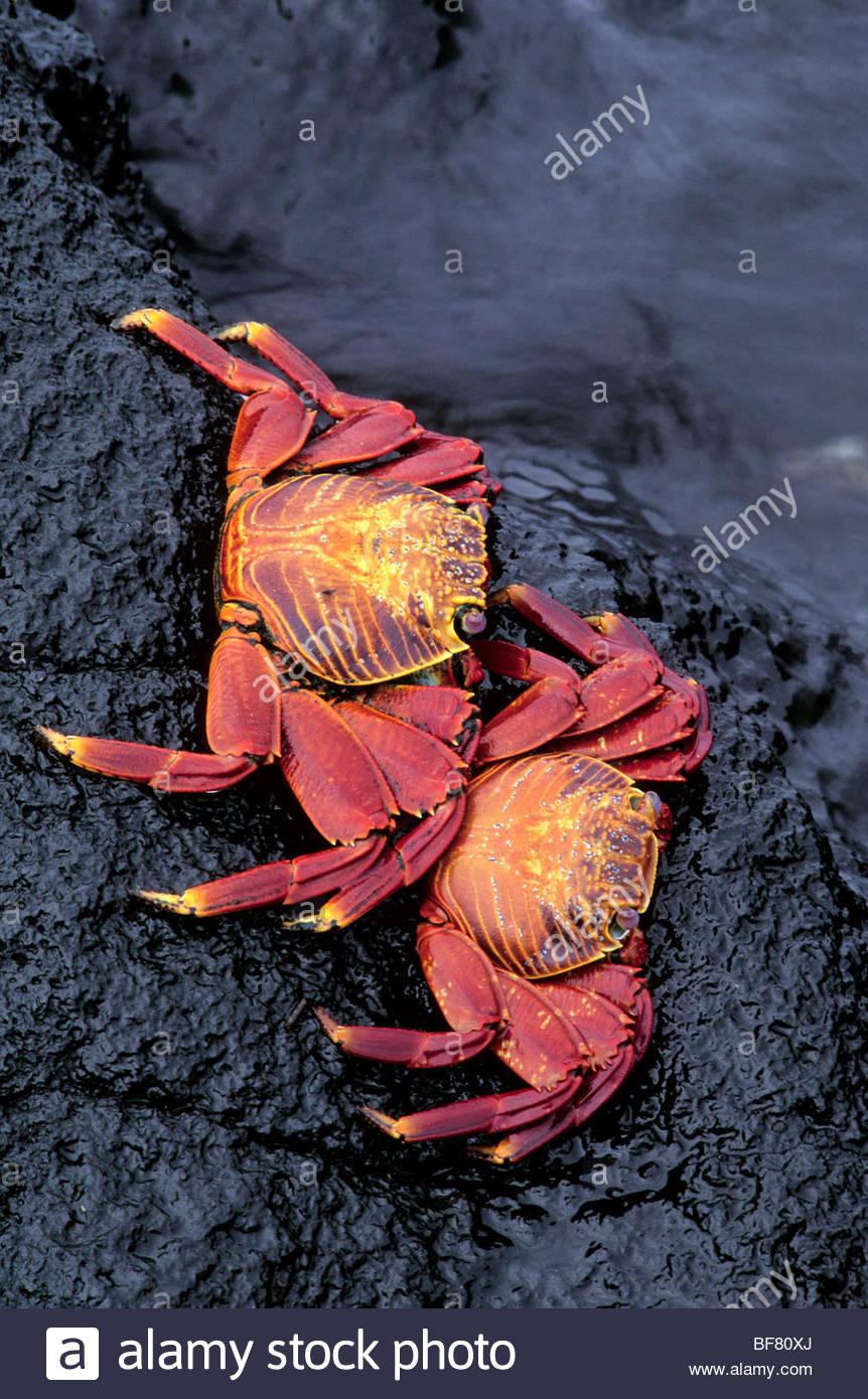 Sally lightfoot crabs, Grapsus grapsus, Galapagos Islands - Stock Image
