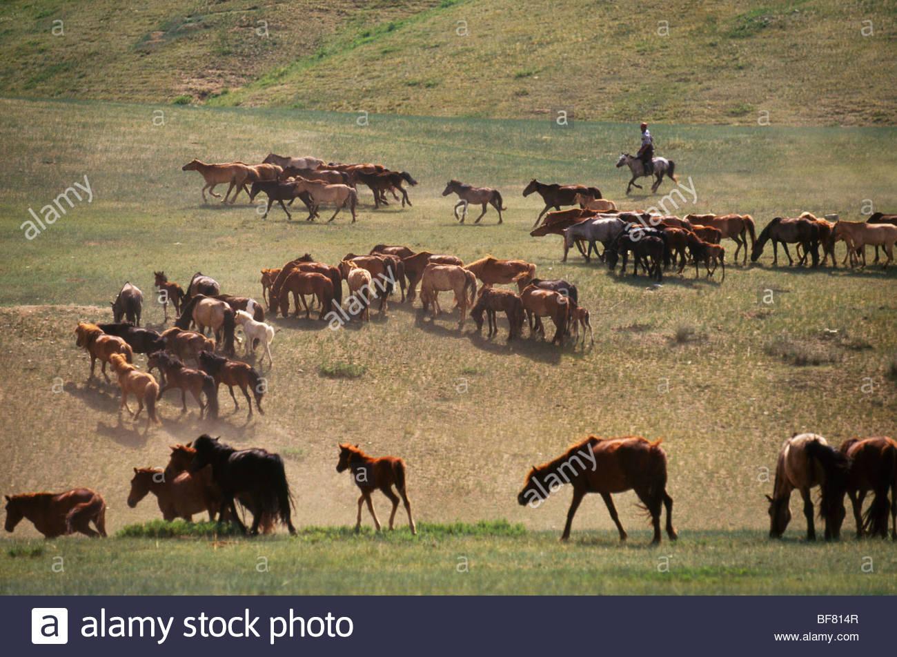 Man herding domestic horses near Hustain Nuruu National Park, Mongolia - Stock Image