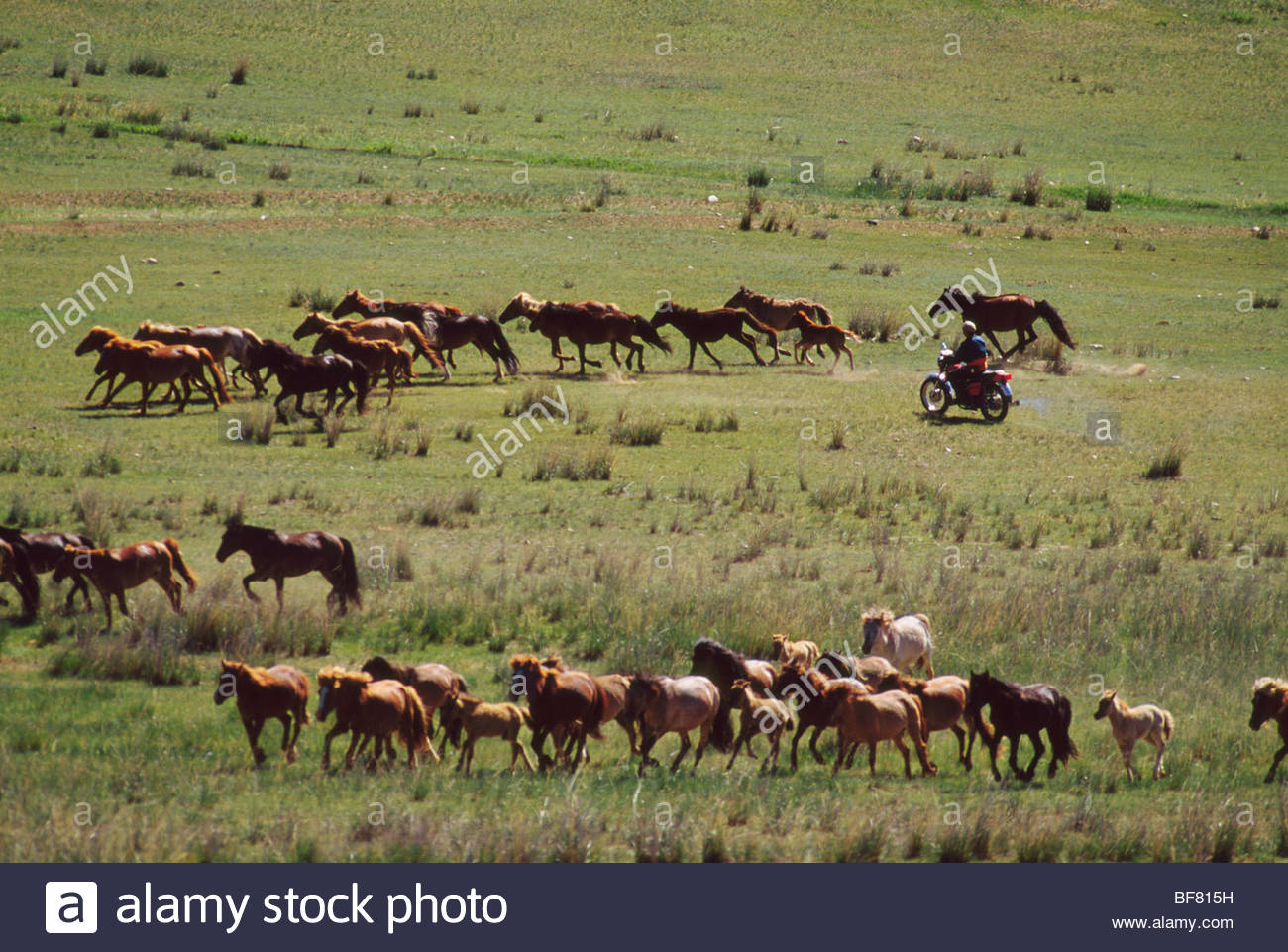 Park rangers chasing domestic horses from park on motorcycle, Hustain Nuruu National Park, Mongolia - Stock Image