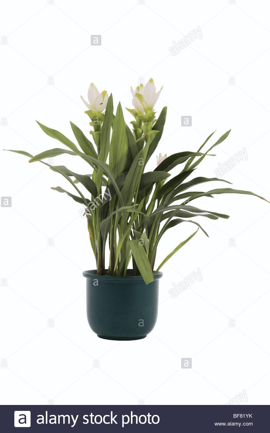 plante curcuma en pot finest petits rhizomes avec un ou plusieurs yeux comment planter le. Black Bedroom Furniture Sets. Home Design Ideas