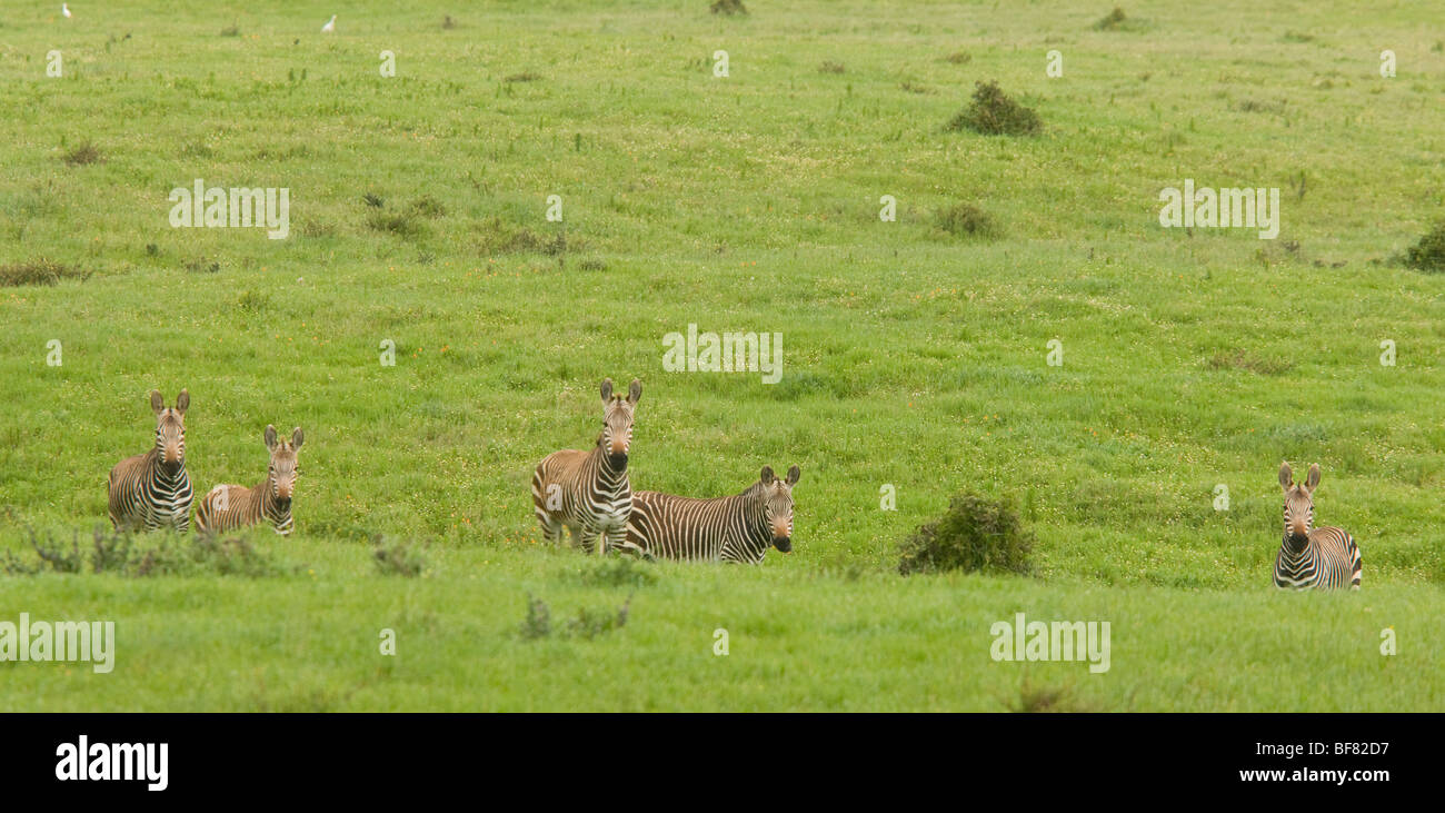 Cape Mountain Zebra, Equus zebra ssp. zebra, Postberg, West Coast National Park, South Africa Stock Photo