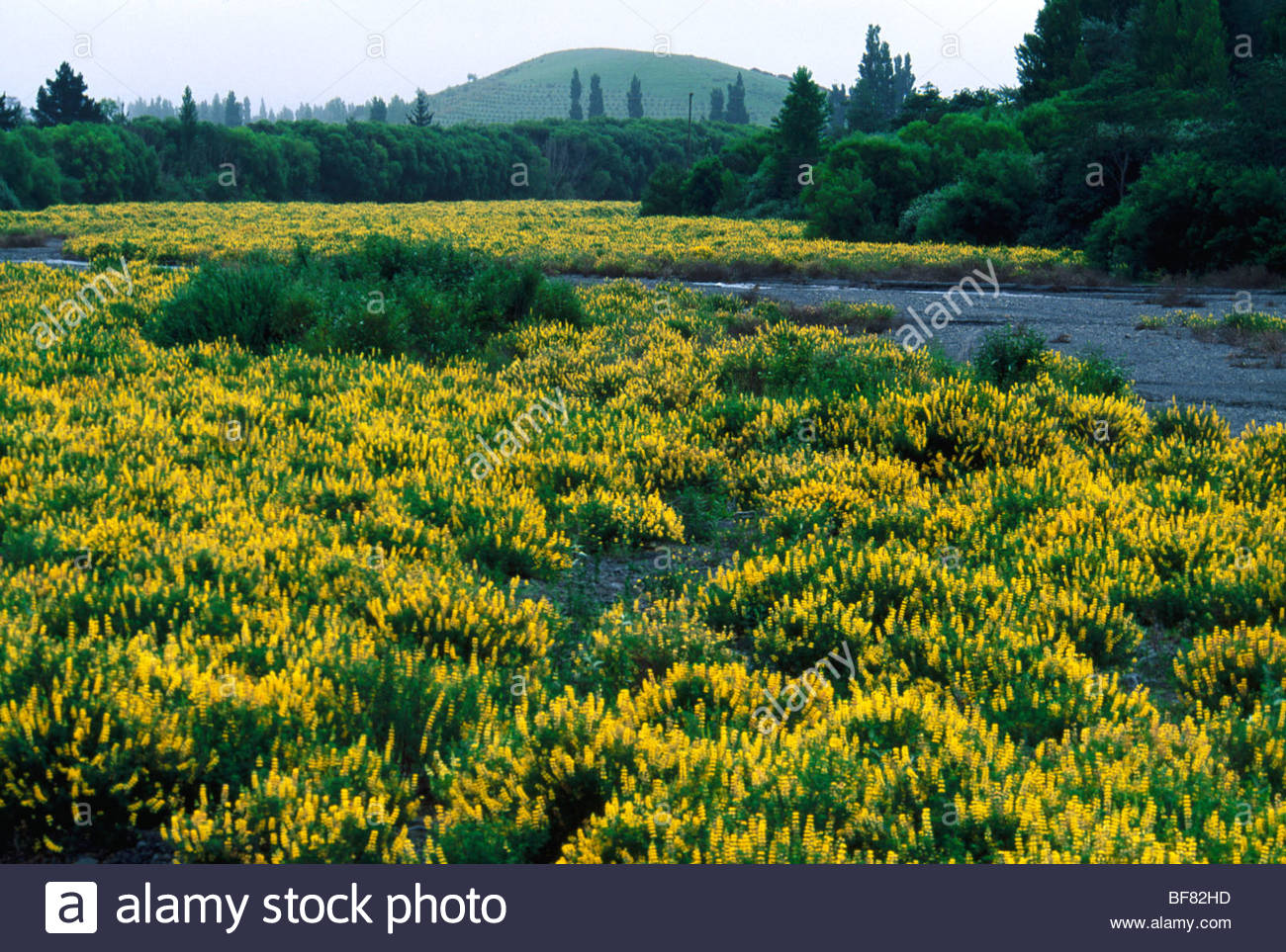 Non-native yellow lupine invading river bed near Christchurch, New Zealand Stock Photo