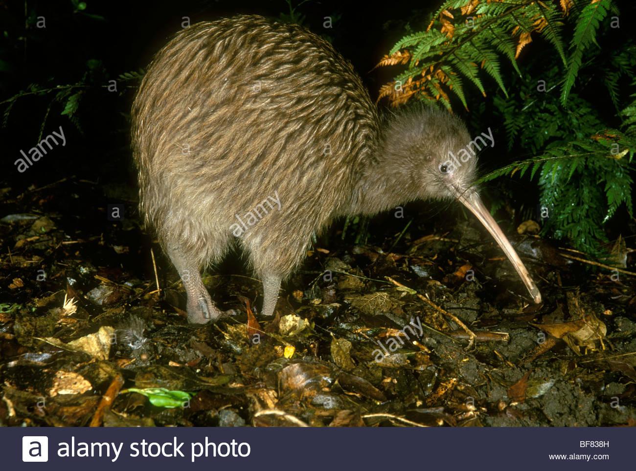 Brown kiwi foraging, Apteryx australis, New Zealand - Stock Image