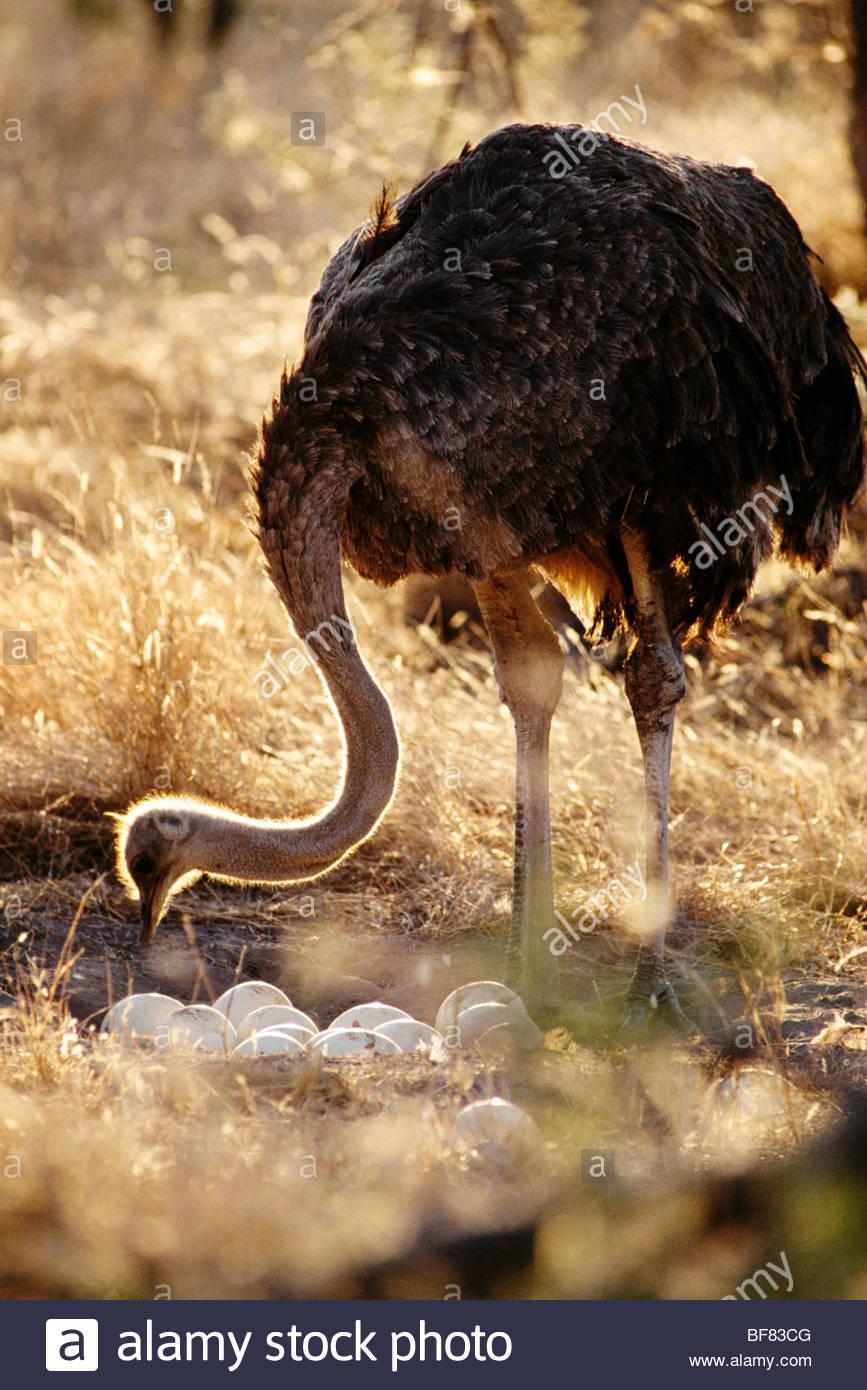 Ostrich female tending to eggs, Struthio camelus, Okavango Delta, Botswana - Stock Image