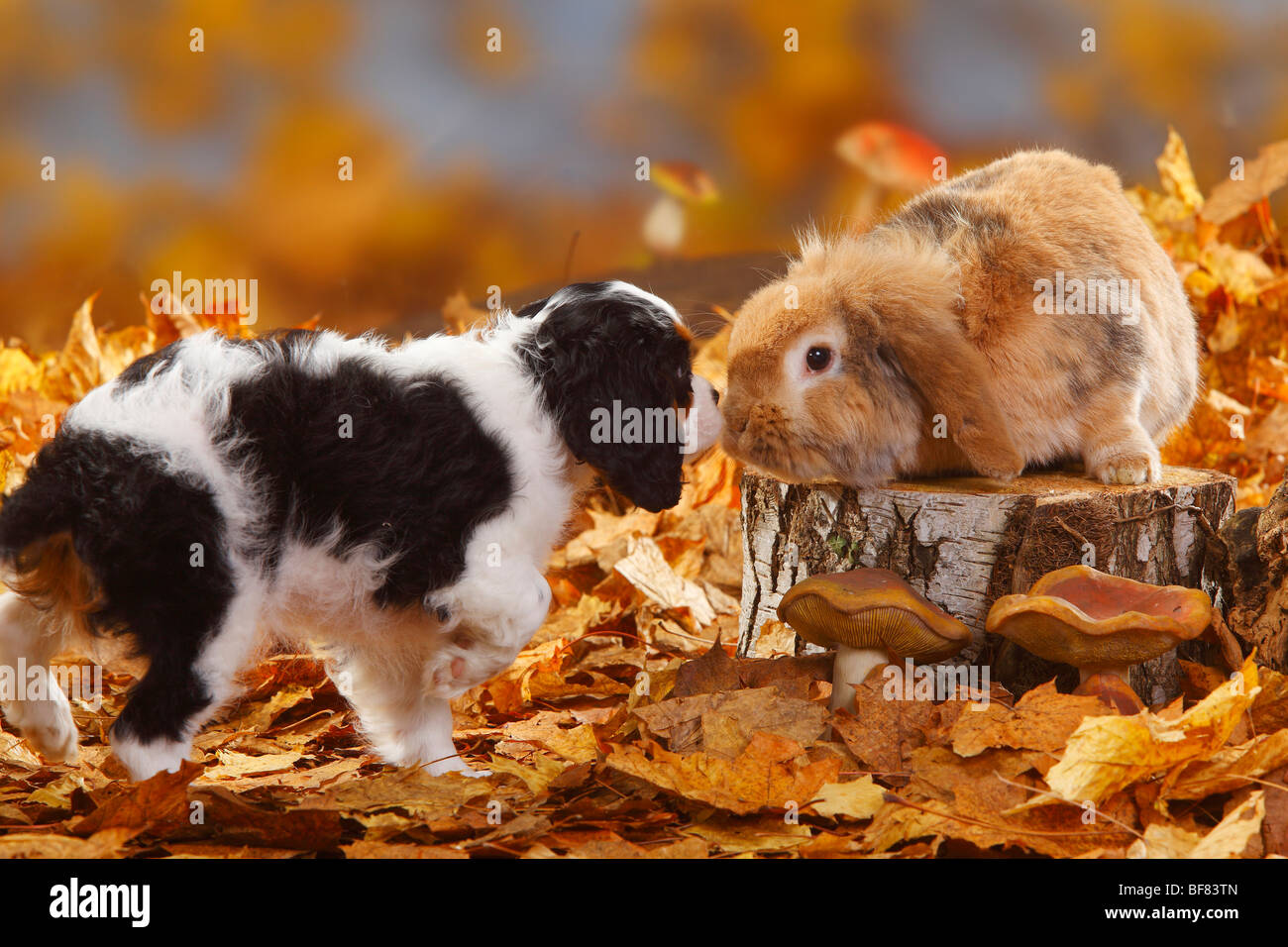 Cavalier King Charles Spaniel, puppy, tricolour, 11 weeks, and Lop-eared Dwarf Rabbit / Domestic Rabbit, autumn - Stock Image