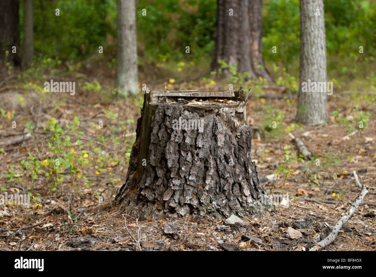 Tree stump in forest - Stock Image