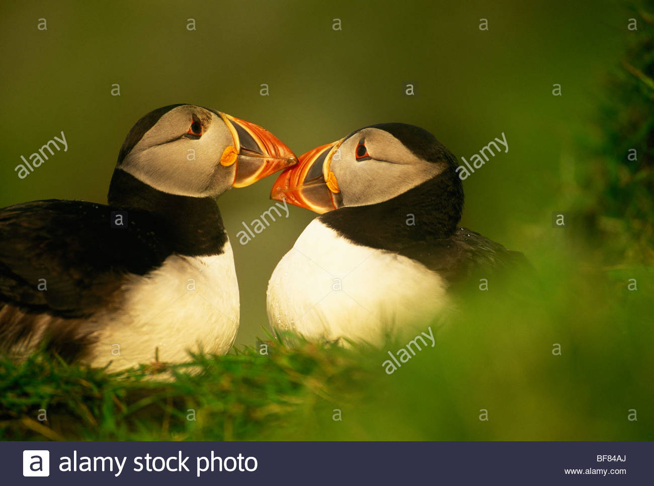 Puffins with brighter and larger beaks during mating season, Fratercula arctica, Outer Hebrides, Scotland - Stock Image