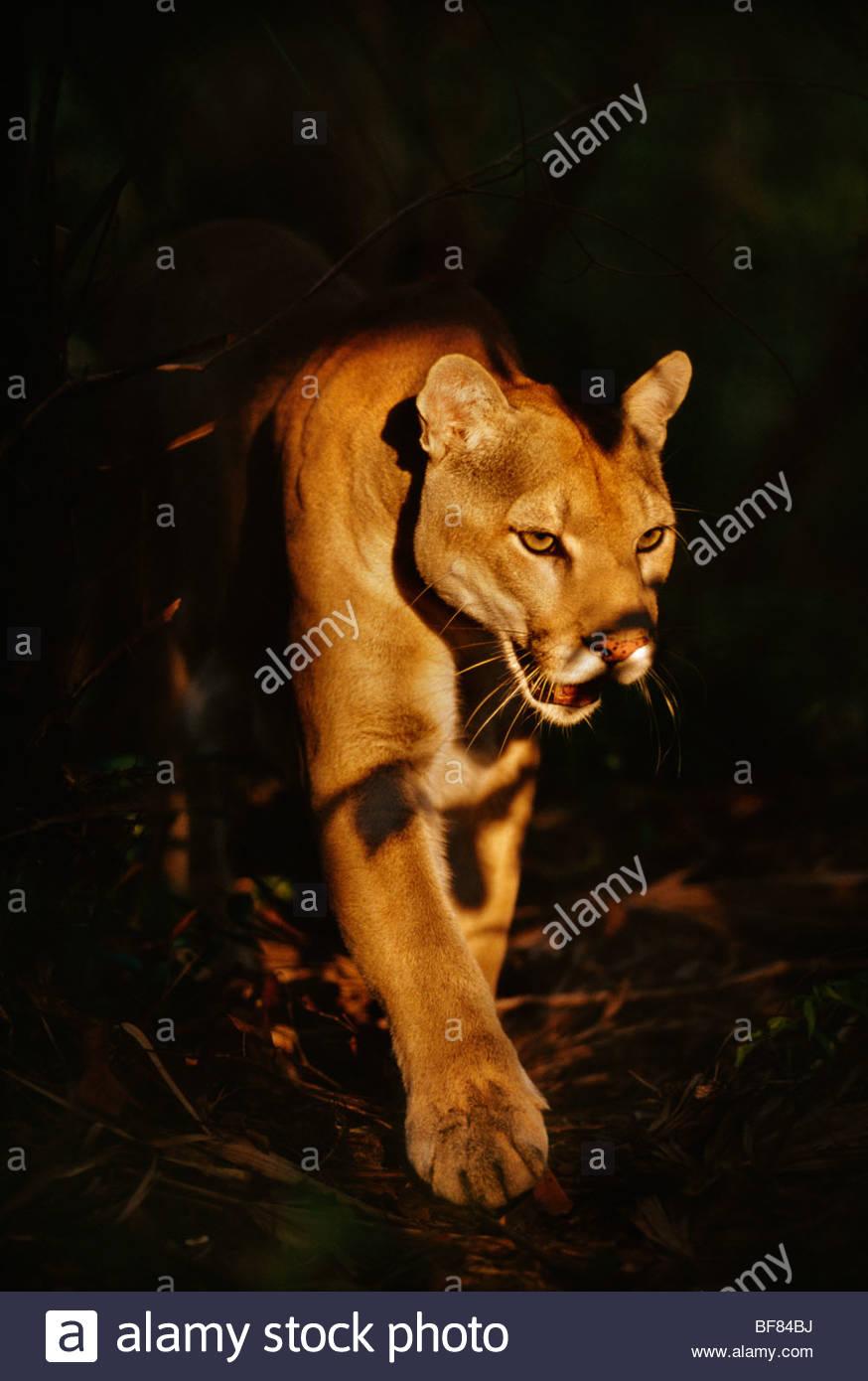 Cougar, Puma concolor, Belize - Stock Image