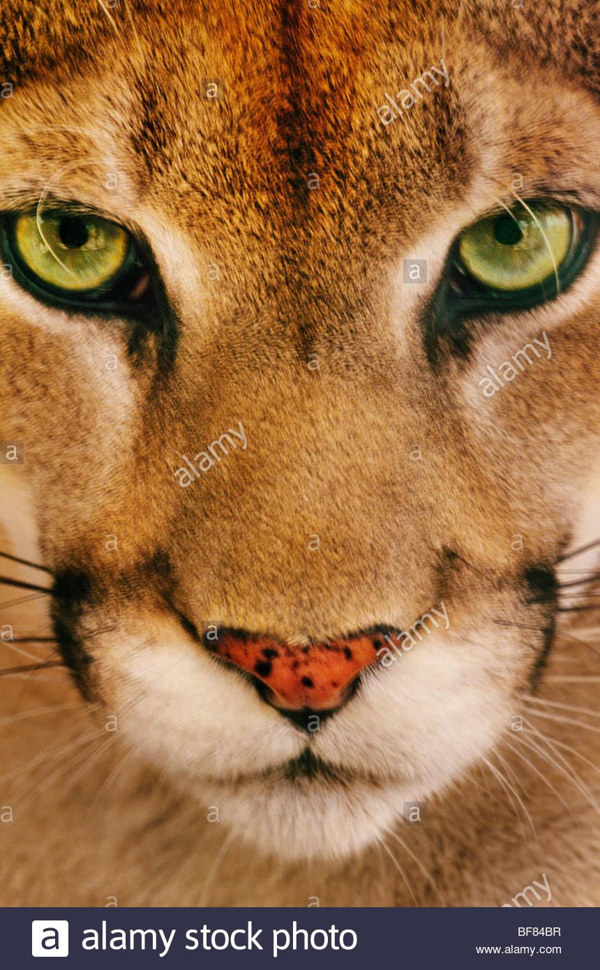 Cougar face, Puma concolor, Belize - Stock Image