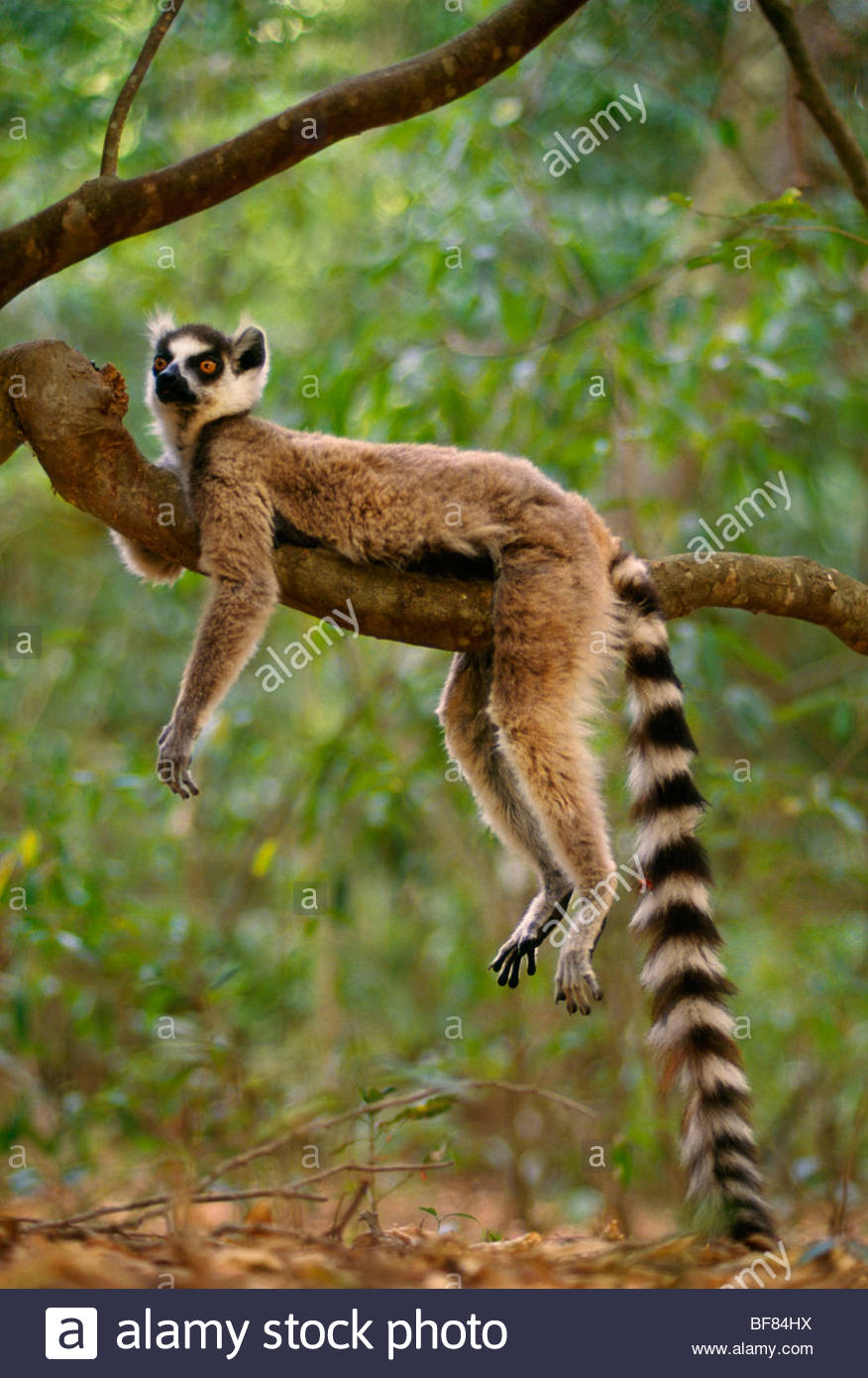 [Image: ring-tailed-lemur-resting-lemur-catta-ma...BF84HX.jpg]