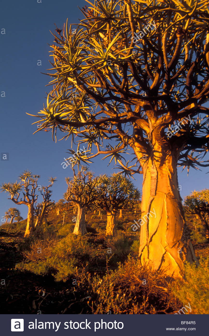 Quiver trees, Aloe dichotoma, Nieuwoudtville, South Africa - Stock Image