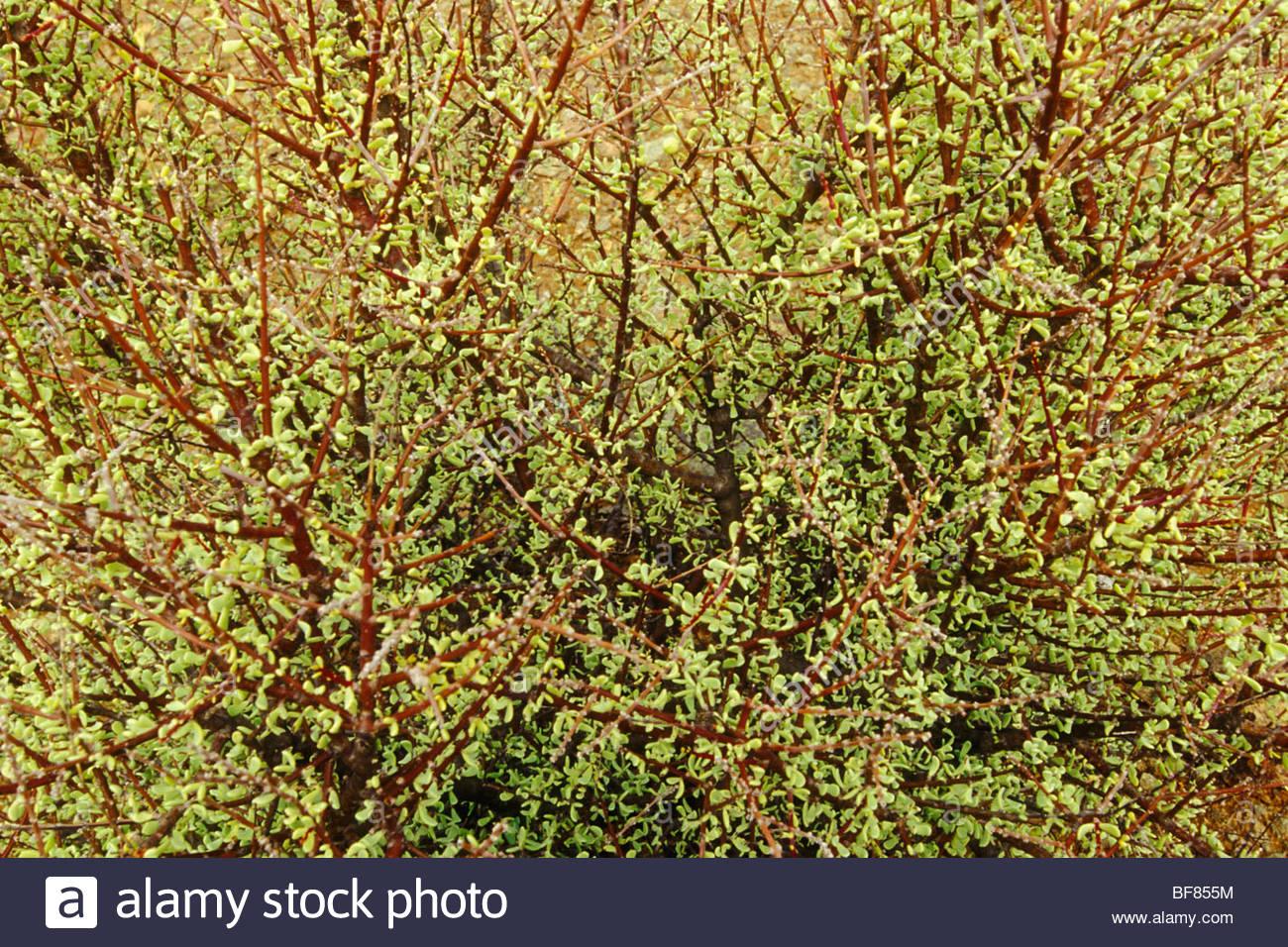 Succulent shrub, Ceraria namaquensis, Richtersveld National Park, South Africa - Stock Image