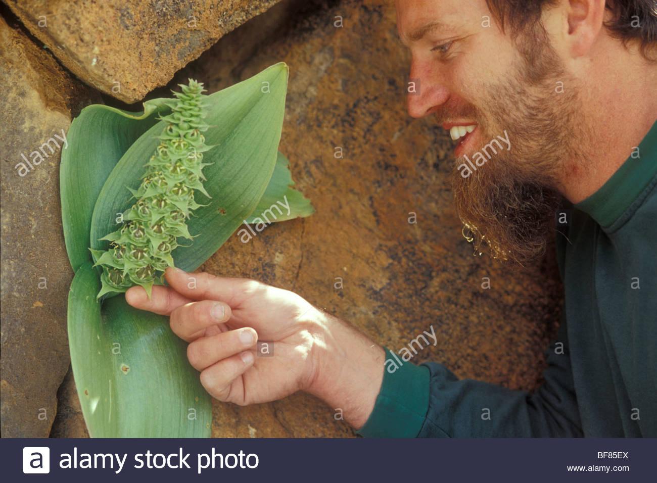 Botanist Allan Ellis examining rare plant, Whiteheadia bifolia, Namaqualand, South Africa - Stock Image
