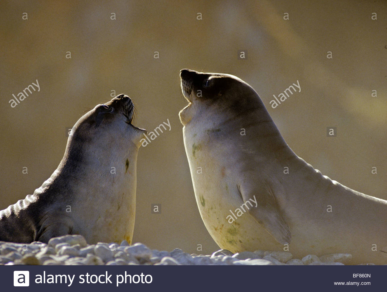 Elephant seal pups playing, Mirounga leonina, South Georgia Island - Stock Image